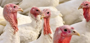 turkeys-2799813_1920